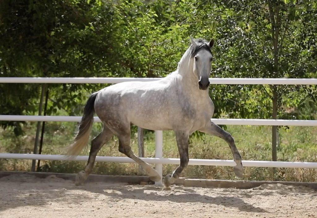caballo_pre_brunito_torreluna